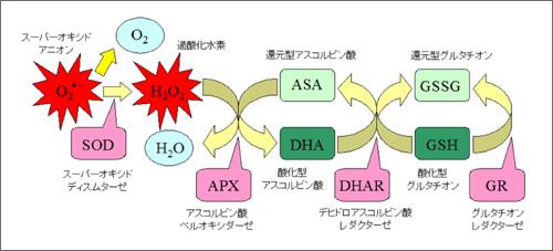 図5:植物の主な活性酸素消去系